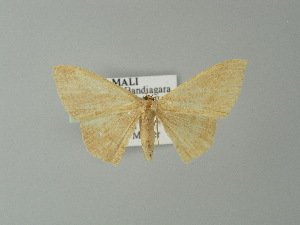 (Cyclophora AH01Ml - BC ZSM Lep 20299)  @13 [ ] CreativeCommons - Attribution Non-Commercial Share-Alike (2012) Axel Hausmann SNSB, Zoologische Staatssammlung Muenchen