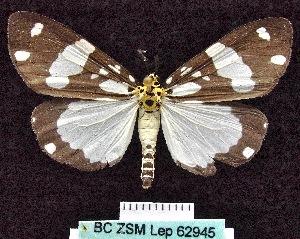 (Utetheisa flavothoracica - BC ZSM Lep 62945)  @13 [ ] Copyright (2012) Axel Hausmann/Bavarian State Collection of Zoology (ZSM) SNSB, Zoologische Staatssammlung Muenchen