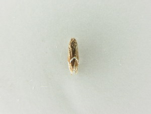 (Glyphipterix schoenicolella - BC ZSM Lep 63518)  @13 [ ] CreativeCommons - Attribution Non-Commercial Share-Alike (2012) Axel Hausmann SNSB, Zoologische Staatssammlung Muenchen