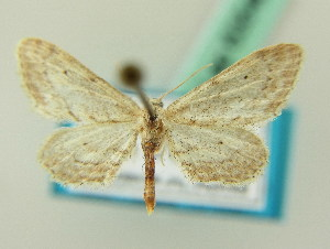 (Idaea mareotica - BC ZSM Lep 63546)  @11 [ ] CreativeCommons - Attribution Non-Commercial Share-Alike (2012) Axel Hausmann SNSB, Zoologische Staatssammlung Muenchen