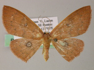 (Cyclophora AH01Ph - BC ZSM Lep 54422)  @13 [ ] CreativeCommons - Attribution Non-Commercial Share-Alike (2012) Axel Hausmann SNSB, Zoologische Staatssammlung Muenchen