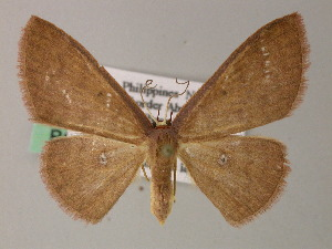 (Cyclophora AH02Ph - BC ZSM Lep 54424)  @15 [ ] CreativeCommons - Attribution Non-Commercial Share-Alike (2012) Axel Hausmann SNSB, Zoologische Staatssammlung Muenchen