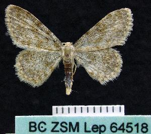 (Scopula cf. nigrinotata - BC ZSM Lep 64518)  @12 [ ] Copyright (2012) Axel Hausmann/Bavarian State Collection of Zoology (ZSM) SNSB, Zoologische Staatssammlung Muenchen