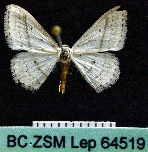 (Scopula punctilineata - BC ZSM Lep 64519)  @14 [ ] Copyright (2012) Axel Hausmann/Bavarian State Collection of Zoology (ZSM) SNSB, Zoologische Staatssammlung Muenchen
