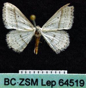 (Scopula punctilineata - BC ZSM Lep 64519)  @14 [ ] Copyright (2012) Axel Hausmann/Bavarian State Collection of Zoology (ZSM) SNSB, Zoologische Staatssammlung Muenchen