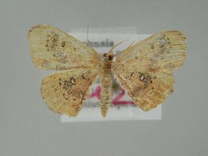 (Cyclophora lennigiaria - BC ZSM Lep 60704)  @13 [ ] CreativeCommons - Attribution Non-Commercial Share-Alike (2012) Axel Hausmann SNSB, Zoologische Staatssammlung Muenchen