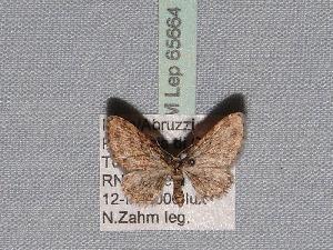 ( - BC ZSM Lep 65664)  @13 [ ] Copyright (2012) Axel Hausmann/Bavarian State Collection of Zoology (ZSM) SNSB, Zoologische Staatssammlung Muenchen