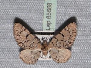 ( - BC ZSM Lep 65668)  @12 [ ] Copyright (2012) Axel Hausmann/Bavarian State Collection of Zoology (ZSM) SNSB, Zoologische Staatssammlung Muenchen