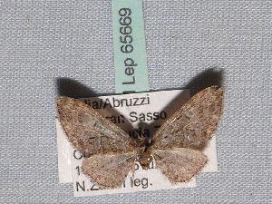 ( - BC ZSM Lep 65669)  @12 [ ] Copyright (2012) Axel Hausmann/Bavarian State Collection of Zoology (ZSM) SNSB, Zoologische Staatssammlung Muenchen