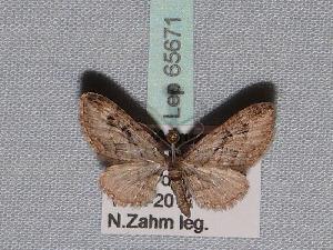( - BC ZSM Lep 65671)  @12 [ ] Copyright (2012) Axel Hausmann/Bavarian State Collection of Zoology (ZSM) SNSB, Zoologische Staatssammlung Muenchen