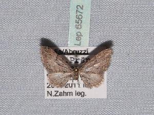 ( - BC ZSM Lep 65672)  @13 [ ] Copyright (2012) Axel Hausmann/Bavarian State Collection of Zoology (ZSM) SNSB, Zoologische Staatssammlung Muenchen