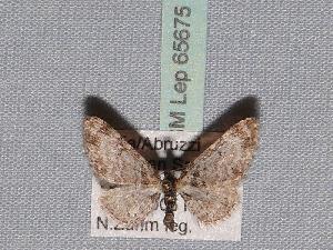 ( - BC ZSM Lep 65675)  @13 [ ] Copyright (2012) Axel Hausmann/Bavarian State Collection of Zoology (ZSM) SNSB, Zoologische Staatssammlung Muenchen