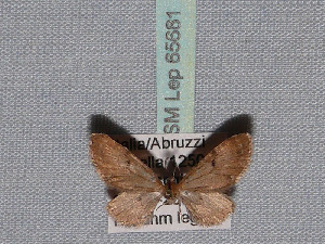 ( - BC ZSM Lep 65681)  @13 [ ] Copyright (2012) Axel Hausmann/Bavarian State Collection of Zoology (ZSM) SNSB, Zoologische Staatssammlung Muenchen