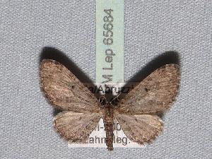 ( - BC ZSM Lep 65684)  @12 [ ] Copyright (2012) Axel Hausmann/Bavarian State Collection of Zoology (ZSM) SNSB, Zoologische Staatssammlung Muenchen