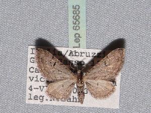 ( - BC ZSM Lep 65685)  @13 [ ] Copyright (2012) Axel Hausmann/Bavarian State Collection of Zoology (ZSM) SNSB, Zoologische Staatssammlung Muenchen