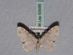 ( - BC ZSM Lep 65688)  @13 [ ] Copyright (2012) Axel Hausmann/Bavarian State Collection of Zoology (ZSM) SNSB, Zoologische Staatssammlung Muenchen