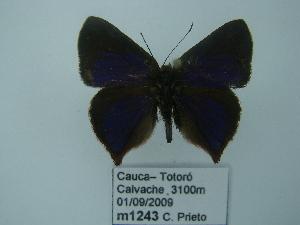 (Penaincisalia - CP Lep 0160)  @13 [ ] Copyright (2012) Dr. Carlos Prieto/CUAC Corporacion Universitaria Autonoma del Cauca