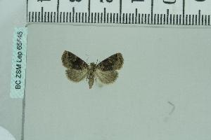 (Ozarba atrifera - BC ZSM Lep 65545)  @12 [ ] Copyright (2012) Axel Hausmann/Bavarian State Collection of Zoology (ZSM) SNSB, Zoologische Staatssammlung Muenchen