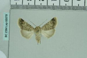 (Dichagyris terminicinctaAH01 - BC ZSM Lep 65578)  @12 [ ] Copyright (2012) Axel Hausmann/Bavarian State Collection of Zoology (ZSM) SNSB, Zoologische Staatssammlung Muenchen