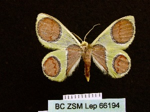 (Plutodes malaysiana - BC ZSM Lep 66194)  @14 [ ] Copyright (2013) Axel Hausmann/Bavarian State Collection of Zoology (ZSM) SNSB, Zoologische Staatssammlung Muenchen
