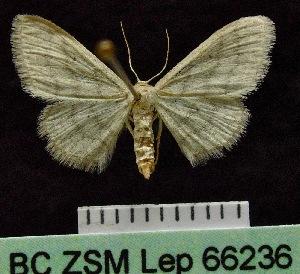 (Idaea AH01SA - BC ZSM Lep 66236)  @13 [ ] Copyright (2013) Axel Hausmann/Bavarian State Collection of Zoology (ZSM) SNSB, Zoologische Staatssammlung Muenchen