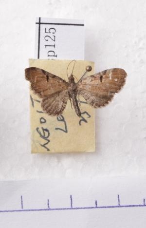 (Eupithecia AY04Ch - BC AxYi 0055)  @12 [ ] Copyright (2013) Y.Zou IZCAS
