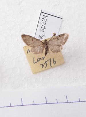 (Eupithecia AY03Ch - BC AxYi 0124)  @12 [ ] Copyright (2013) Y.Zou IZCAS