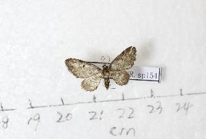 (Eupithecia AY01Ch - BC AxYi 0255)  @12 [ ] Copyright (2013) Y.Zou IZCAS