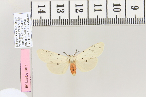 (Aloa arabicumAH01 - BC DS 0017)  @12 [ ] Copyright (2013) Axel Hausmann/Bavarian State Collection of Zoology (ZSM) SNSB, Zoologische Staatssammlung Muenchen