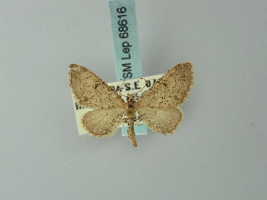 (Eupithecia carpophilata - BC ZSM Lep 68616)  @13 [ ] CreativeCommons - Attribution Non-Commercial Share-Alike (2014) Axel Hausmann SNSB, Zoologische Staatssammlung Muenchen