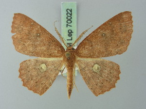 (Cyclophora ruficeps - BC ZSM Lep 70022)  @13 [ ] CreativeCommons - Attribution Non-Commercial Share-Alike (2014) Axel Hausmann SNSB, Zoologische Staatssammlung Muenchen