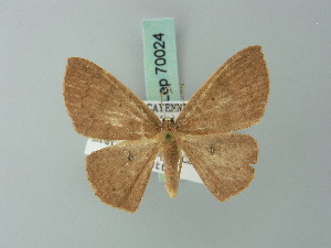 (Cyclophora sypharia - BC ZSM Lep 70024)  @13 [ ] CreativeCommons - Attribution Non-Commercial Share-Alike (2014) Axel Hausmann SNSB, Zoologische Staatssammlung Muenchen