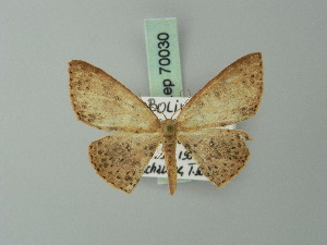 (Cyclophora subpallida - BC ZSM Lep 70030)  @11 [ ] CreativeCommons - Attribution Non-Commercial Share-Alike (2014) Axel Hausmann SNSB, Zoologische Staatssammlung Muenchen
