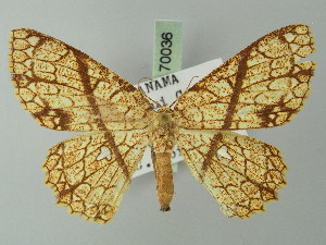 (Cyclophora insigniata - BC ZSM Lep 70036)  @15 [ ] CreativeCommons - Attribution Non-Commercial Share-Alike (2014) Axel Hausmann SNSB, Zoologische Staatssammlung Muenchen