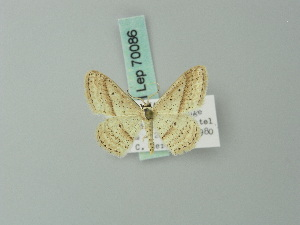(Scopula obliquiscripta - BC ZSM Lep 70086)  @13 [ ] CreativeCommons - Attribution Non-Commercial Share-Alike (2014) Axel Hausmann SNSB, Zoologische Staatssammlung Muenchen
