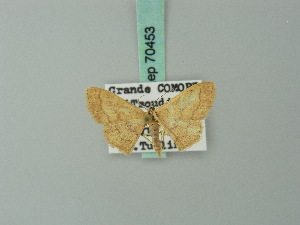 (Scopula rufolutaria - BC ZSM Lep 70453)  @13 [ ] CreativeCommons - Attribution Non-Commercial Share-Alike (2014) Axel Hausmann SNSB, Zoologische Staatssammlung Muenchen