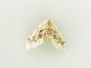 (Idaea nigrolineata - BC ZSM Lep 81302)  @14 [ ] CreativeCommons - Attribution Non-Commercial Share-Alike (2014) Axel Hausmann SNSB, Zoologische Staatssammlung Muenchen