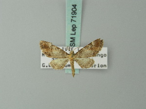 (Eupithecia albirivata - BC ZSM Lep 71904)  @11 [ ] CreativeCommons - Attribution Non-Commercial Share-Alike (2015) Axel Hausmann SNSB, Zoologische Staatssammlung Muenchen