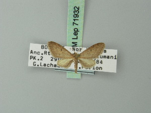 (Eupithecia hastaria - BC ZSM Lep 71932)  @11 [ ] CreativeCommons - Attribution Non-Commercial Share-Alike (2015) Axel Hausmann SNSB, Zoologische Staatssammlung Muenchen