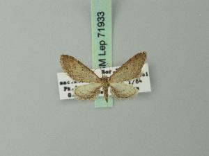 (Eupithecia discretata - BC ZSM Lep 71933)  @11 [ ] CreativeCommons - Attribution Non-Commercial Share-Alike (2015) Axel Hausmann SNSB, Zoologische Staatssammlung Muenchen