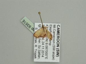(Idaea AH07GhCa - BC ZSM Lep 93516)  @12 [ ] CreativeCommons - Attribution Non-Commercial Share-Alike (2016) SNSB, Staatliche Naturwissenschaftliche Sammlungen Bayerns ZSM (SNSB, Zoologische Staatssammlung Muenchen)
