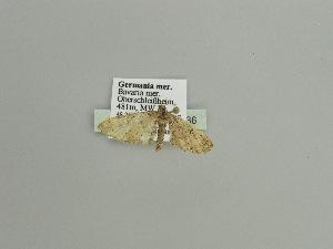 ( - BC ZSM Lep 91636)  @11 [ ] by-nc-sa (2016) SNSB, Staatliche Naturwissenschaftliche Sammlungen Bayerns ZSM (SNSB, Zoologische Staatssammlung Muenchen)