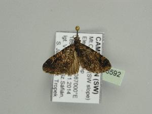 (Eupithecia dilucidaAH01Ca - BC ZSM Lep 93592)  @11 [ ] by-nc-sa (2016) SNSB, Staatliche Naturwissenschaftliche Sammlungen Bayerns ZSM (SNSB, Zoologische Staatssammlung Muenchen)