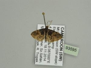 (Eupithecia dilucidaAH03Ca - BC ZSM Lep 93595)  @11 [ ] by-nc-sa (2016) SNSB, Staatliche Naturwissenschaftliche Sammlungen Bayerns ZSM (SNSB, Zoologische Staatssammlung Muenchen)