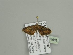 (Eupithecia AH02Ca - BC ZSM Lep 93609)  @11 [ ] CreativeCommons - Attribution Non-Commercial Share-Alike (2016) SNSB, Staatliche Naturwissenschaftliche Sammlungen Bayerns ZSM (SNSB, Zoologische Staatssammlung Muenchen)