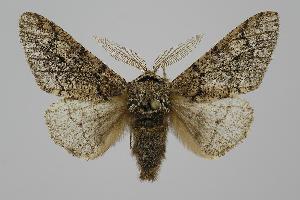 (Biston - BC ZSM Lep 94193)  @15 [ ] by-nc-sa (2016) SNSB, Staatliche Naturwissenschaftliche Sammlungen Bayerns ZSM (SNSB, Zoologische Staatssammlung Muenchen)