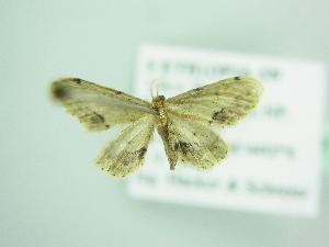 (Idaea AH05Zm - BC ZSM Lep 98639)  @13 [ ] by-nc-sa (2017) SNSB, Staatliche Naturwissenschaftliche Sammlungen Bayerns ZSM (SNSB, Zoologische Staatssammlung Muenchen)
