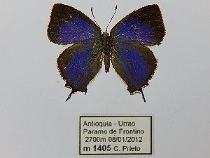 (Salazaria - CP Lep 0468)  @13 [ ] by-nc-sa (2016) SNSB, Staatliche Naturwissenschaftliche Sammlungen Bayerns ZSM (SNSB, Zoologische Staatssammlung Muenchen)
