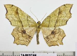 (Archedontia - BC ZSM Lep 105221)  @11 [ ] by-nc-sa (2019) SNSB, Staatliche Naturwissenschaftliche Sammlungen Bayerns ZSM (SNSB, Zoologische Staatssammlung Muenchen)