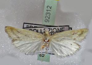 (Paratraea - BC ZSM Lep 92312)  @11 [ ] by-nc-sa (2016) SNSB, Staatliche Naturwissenschaftliche Sammlungen Bayerns ZSM (SNSB, Zoologische Staatssammlung Muenchen)